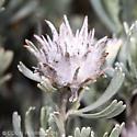 Cottony rosette gall on sagebrush