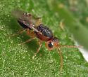 gall wasp - Callirhytis