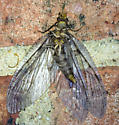 Chauliodes pectinicornis - Summer Fishfly? - Chauliodes pectinicornis
