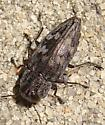 Metallic Wood-boring Beetle - Chrysobothris rugosiceps