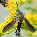 Fly ?? - Lepidophora lepidocera