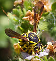 Wasp - Pseudomasaris edwardsii