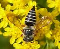 Potter wasp? - Coelioxys - female