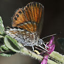Western Pygmy Blue - Brephidium exile - female