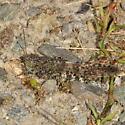Grasshopper - Trimerotropis verruculata