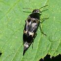 Tumbling flower beetle - Glipa oculata