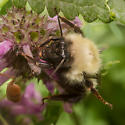 Bumble bee - Bombus perplexus - female