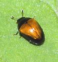 Tiny shiny beetle - Tritoma pulchra