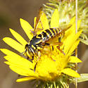 Spilomyia - Spilomyia citima