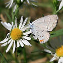 Eastern Tailed-Blue - Cupido comyntas - male