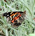 American Lady butterfly - Vanessa virginiensis - female