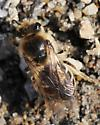 Hairy bee 2 - Colletes inaequalis - female