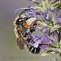 Male Bee - Megachile frigida - male