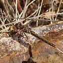 Dragonfly with orange-banded abdomen - Sympetrum corruptum