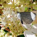 Butterfly - blue  - Celastrina
