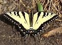 Eastern Tiger Swallowtail - Papilio canadensis - male