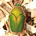 Green June Beetle - Dorsal - Cotinis nitida