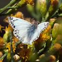 Northen White Skipper - Heliopetes ericetorum - male