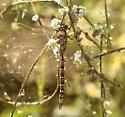brown darner - Aeshna - female