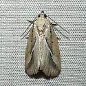 Unknown moth - Argillophora furcilla