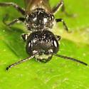 Aphid Wasp? - Pemphredon inornata - male