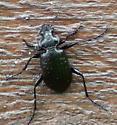 Carabidae: Calosoma? - Callisthenes calidus
