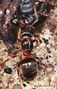 Ant - Lasius umbratus