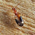 Anthicidae - Stricticollis tobias