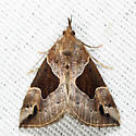 Flowing-line Hypena - Hypena manalis