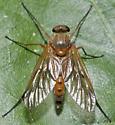 Marsh Snipe Fly - Rhagio - male
