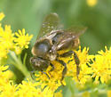 Bombus flavidus ? - female