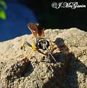 Cute wasp-no really - Sceliphron caementarium