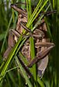 Unknown water bug - Benacus griseus