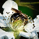 Andrena alleghaniensis - female