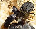 beetles - Dermestes