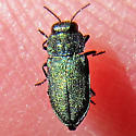Metallic green buprestid? - Anthaxia prasina