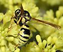 mason wasp? - Pterocheilus