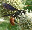 Big Wasp - Scolia dubia