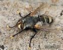 Fly - Tachinomyia - male