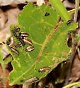 Cottonwood Leaf Beetle larva and pupa - Chrysomela scripta