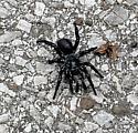 Mystery spider - Ummidia