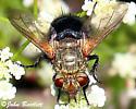 Tachinidae - Archytas