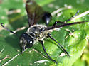Worn out black wasp - Isodontia