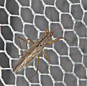 Assassin Bug? - Nabis