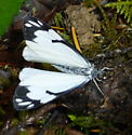 butterfly - Neophasia menapia