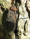 Cluster Fly - Pollenia - male