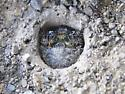 Cicindela pulchra pulchra, third instar at top of burrow - Cicindela pulchra