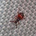 Teensy odd beetle from light trap - Reichenbachia - male