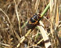 An Oregon Cicada - Okanagana - male