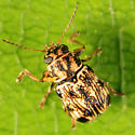 Case-bearing Leaf Beetle - Pachybrachis obsoletus